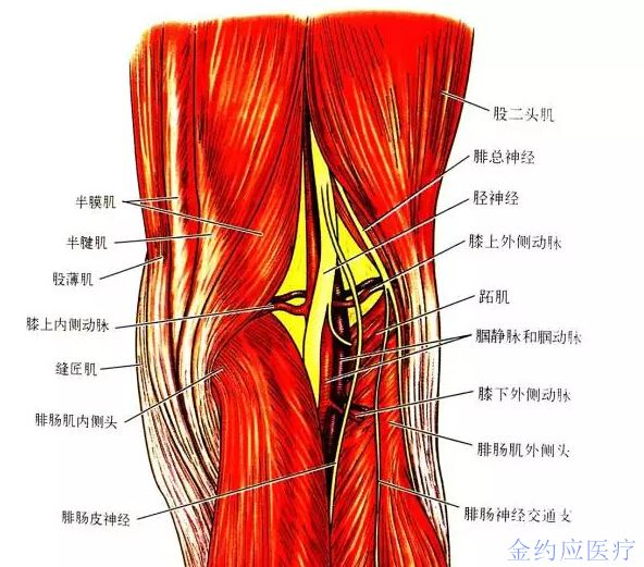 关节资讯- 膝关节的四面观-金约应医疗-powered